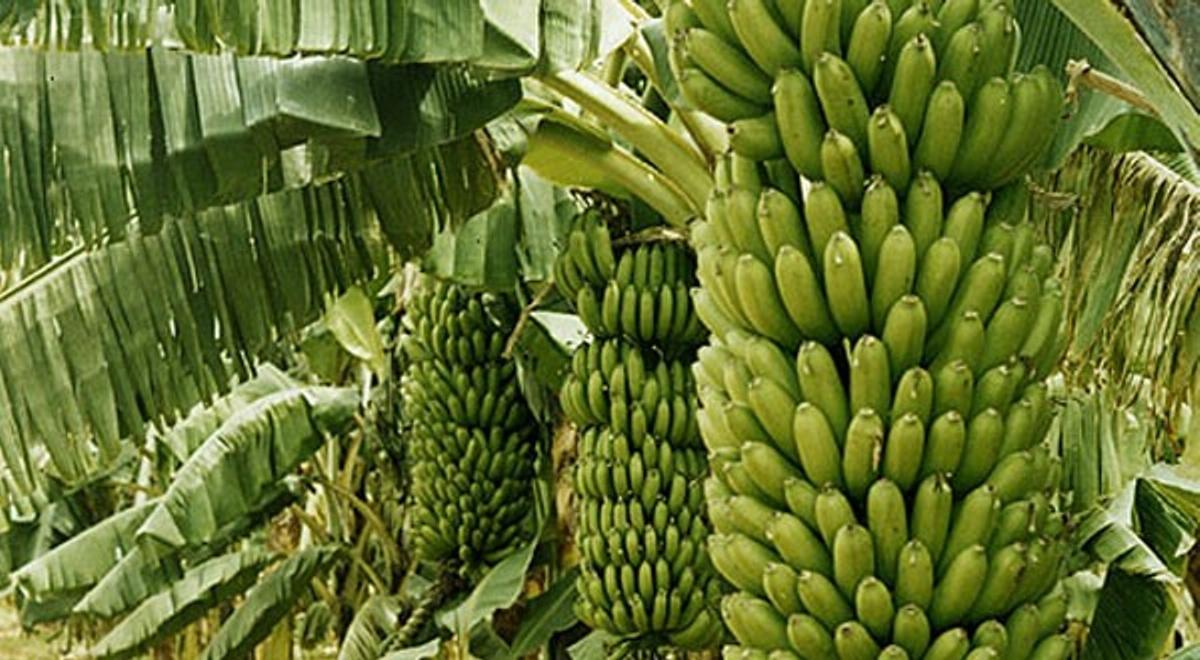 Najväčší trs banánov